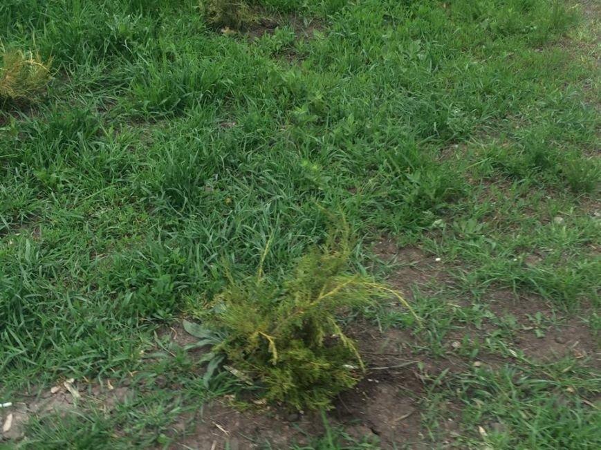 В мариупольском парке  50-летия Победы не досчитались пяти можжевеловых кустов (Фотофакт), фото-2
