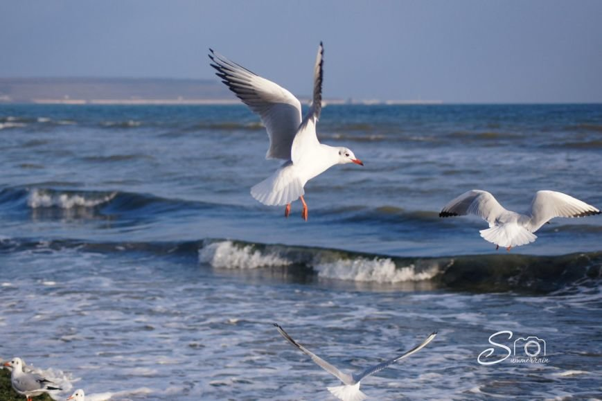 чайка крылья одесса