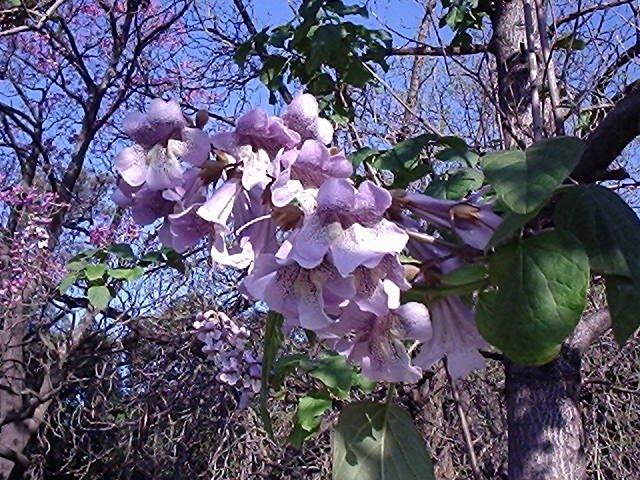 Напередодні Великодня у Тернополі квітнуть рідкісні дерева  (Фото), фото-5