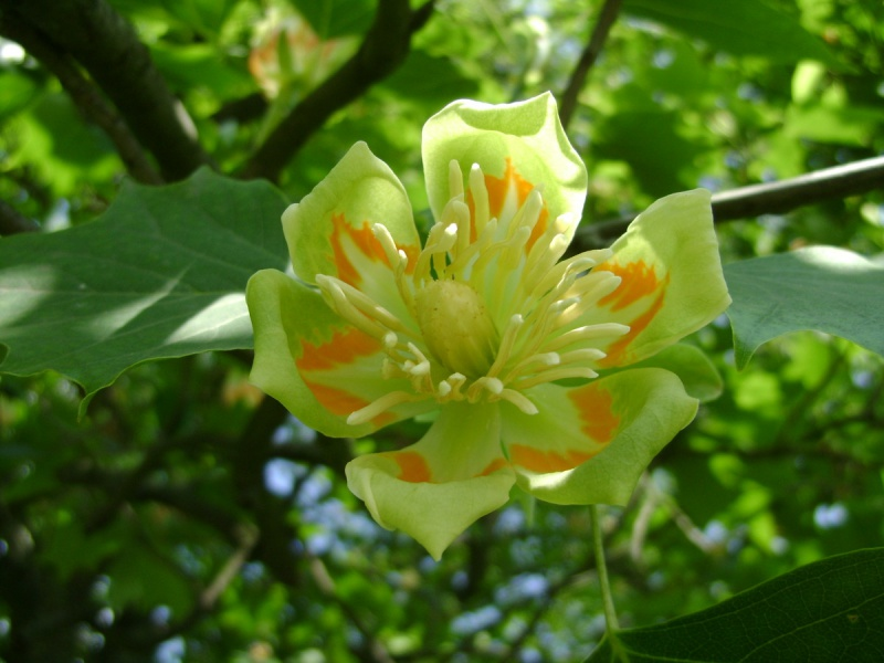 Напередодні Великодня у Тернополі квітнуть рідкісні дерева  (Фото), фото-6