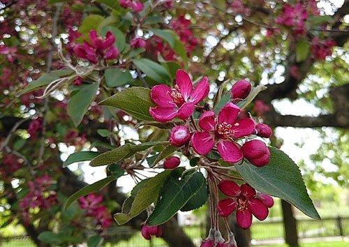 Напередодні Великодня у Тернополі квітнуть рідкісні дерева  (Фото), фото-4