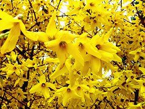 Напередодні Великодня у Тернополі квітнуть рідкісні дерева  (Фото), фото-2