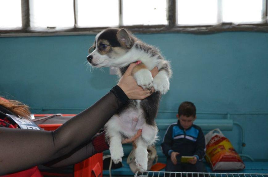 В Мариуполе лхаса апсо стала лучшей собакой Приазовья (ФОТО+ВИДЕО), фото-19