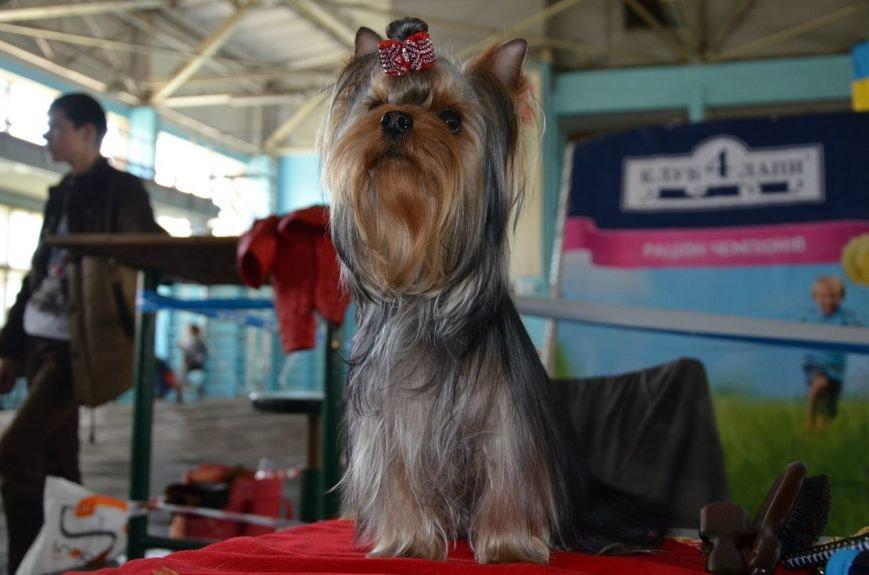 В Мариуполе лхаса апсо стала лучшей собакой Приазовья (ФОТО+ВИДЕО), фото-21