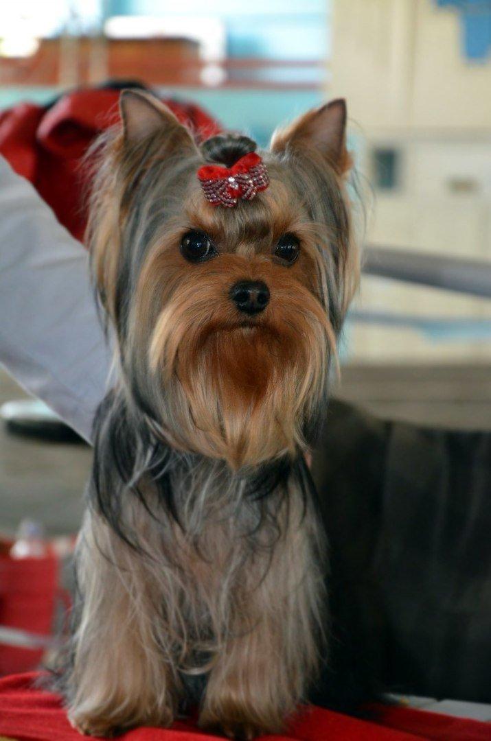 В Мариуполе лхаса апсо стала лучшей собакой Приазовья (ФОТО+ВИДЕО), фото-1