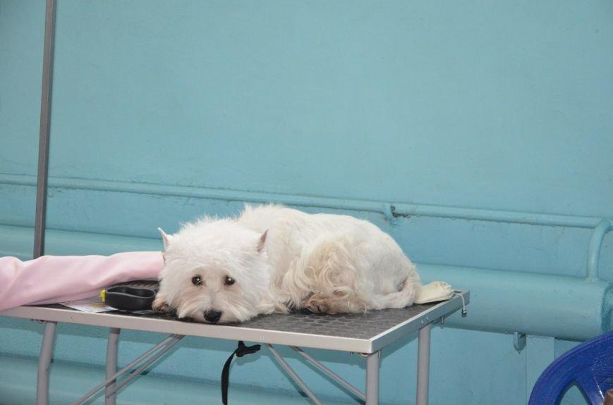 В Мариуполе лхаса апсо стала лучшей собакой Приазовья (ФОТО+ВИДЕО), фото-23