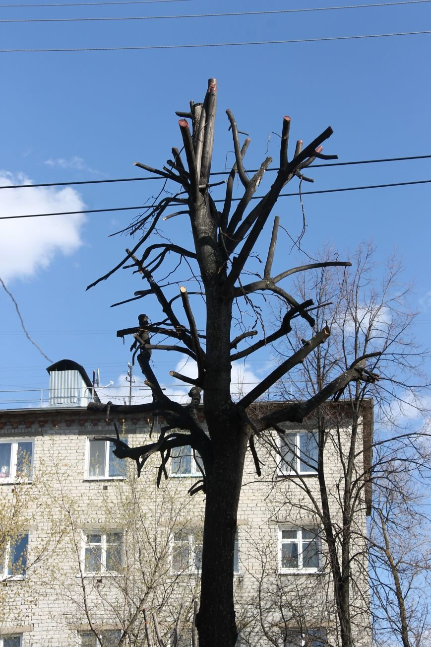 Почему в Ульяновске так безобразно обрезают деревья. ФОТО, фото-5
