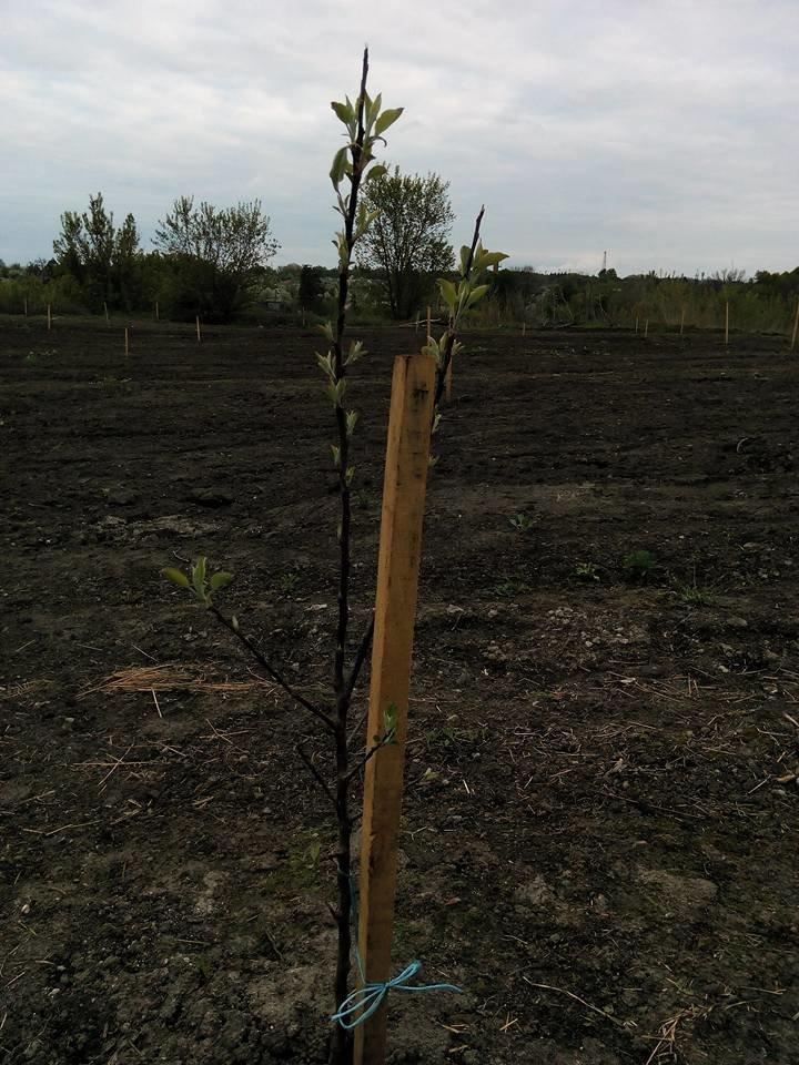 На Сумщине вандалы выкопали почти 170 деревьев (ФОТО), фото-4