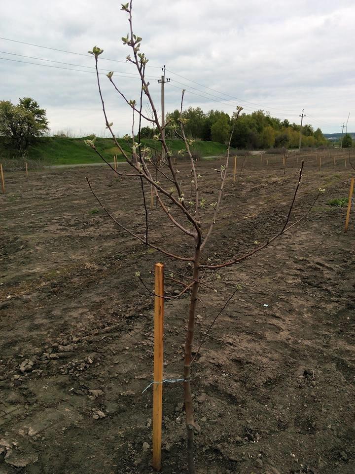 На Сумщине вандалы выкопали почти 170 деревьев (ФОТО), фото-5