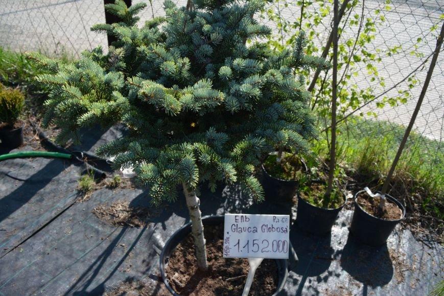 В Новополоцке открылась выставка-продажа ландшафтных растений (+фото), фото-4