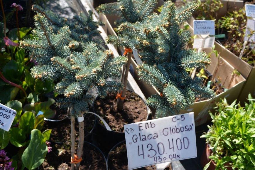 В Новополоцке открылась выставка-продажа ландшафтных растений (+фото), фото-6