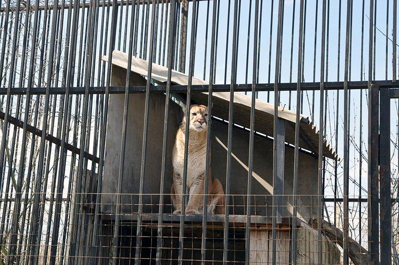 В Белгороде при транспортировке в новый зоопарк в Сосновке погибла пума, фото-1