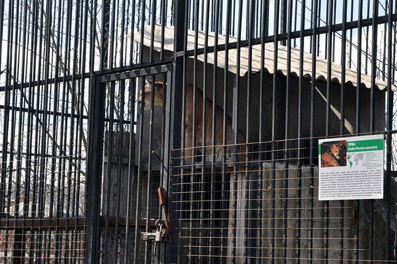 В Белгороде при транспортировке в новый зоопарк в Сосновке погибла пума, фото-2