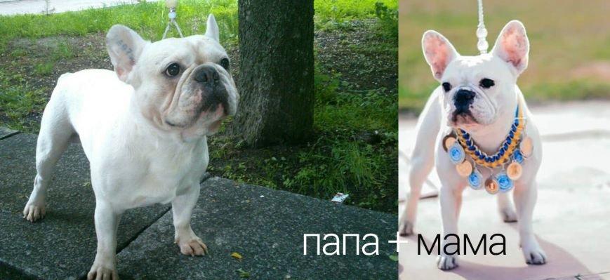 Выбираете собаку для семьи? Французский бульдог - умный и преданный друг, фото-1