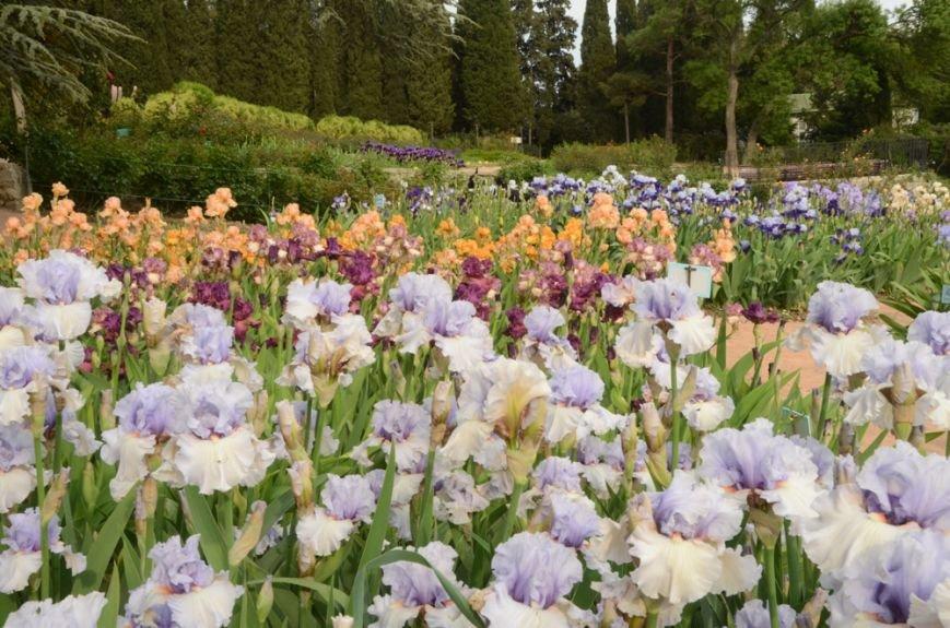 200 сортов ириса одновременно цветут в Никитском саду, фото-5