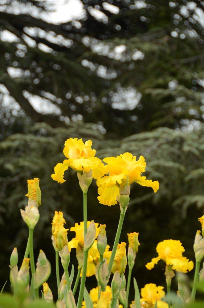 200 сортов ириса одновременно цветут в Никитском саду, фото-6