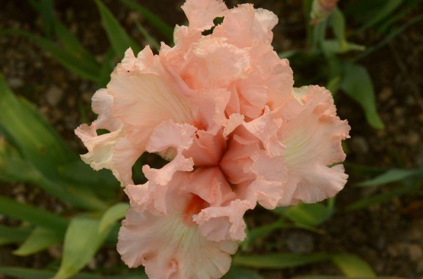 200 сортов ириса одновременно цветут в Никитском саду, фото-2