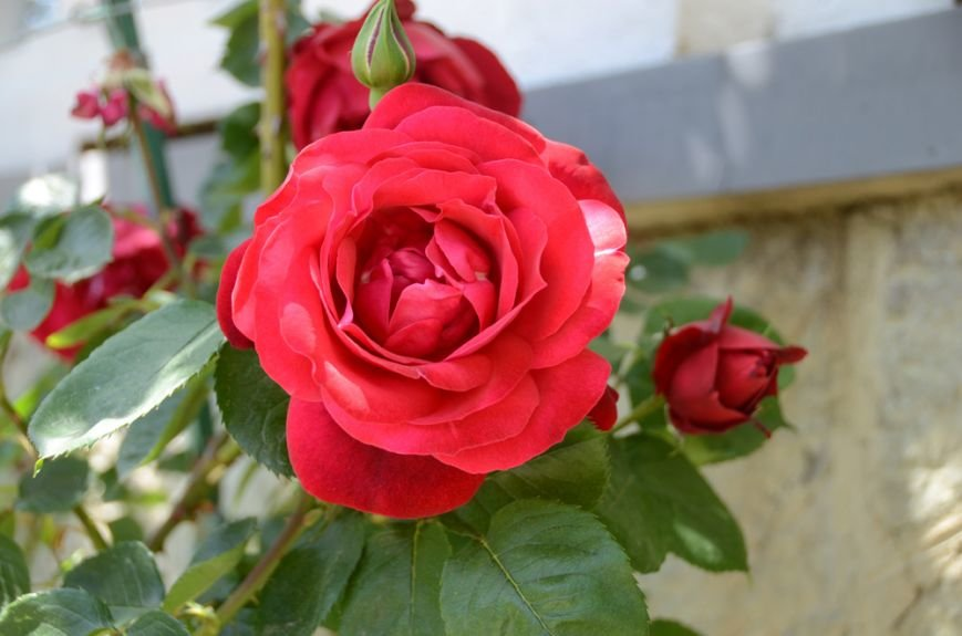 Впервые в истории Никитского сада открыта экспозиция созданных здесь в конце XX – начале XXI века сортов роз, фото-2