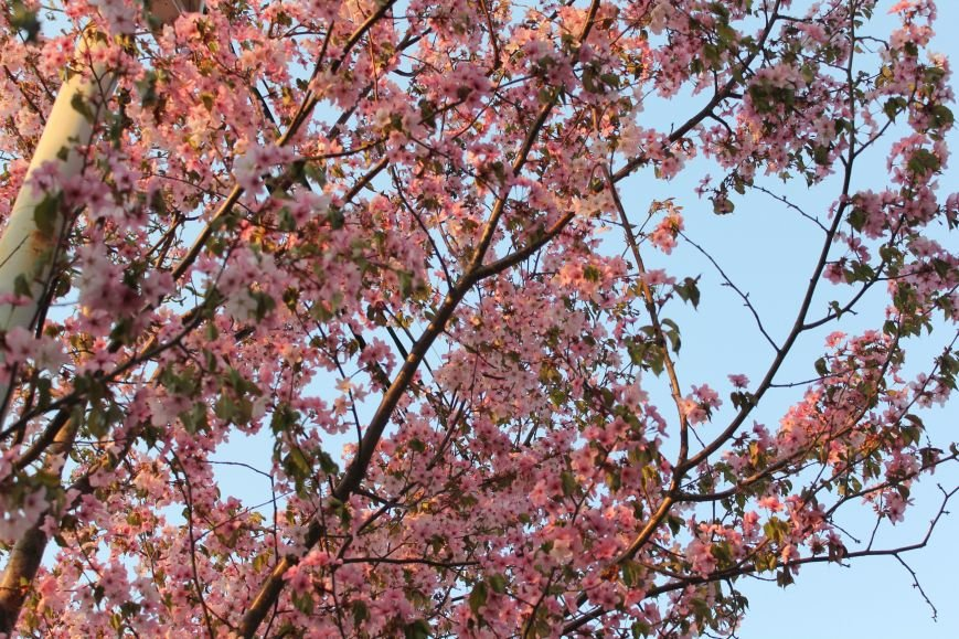 Прогулки по Южному продолжаются. День цветущей сакуры, фото-13