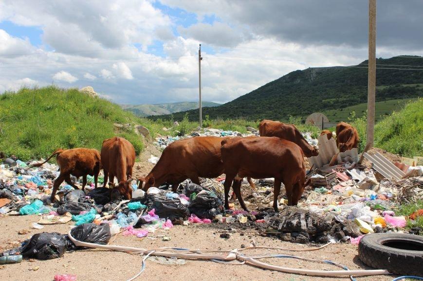 На «невидимой» для властей огромной свалке под Симферополем питаются коровы (ФОТО), фото-7