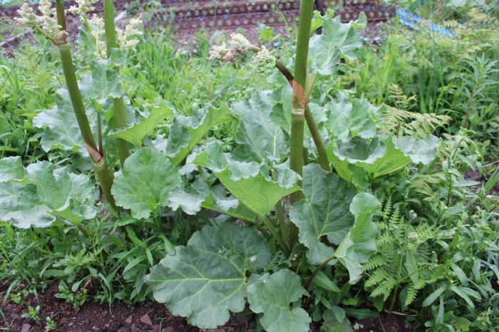 Сад и огород на Сахалине. Выпуск 18: наращиваем посадки лука, любуемся сиренью, фото-2