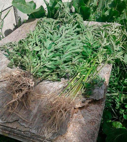 На Житомирщині ліквідовано посіви маку та конопель, фото-1