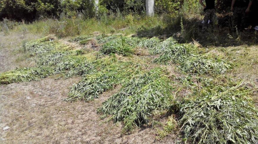 Под Мариуполем обнаружена ферма конопли (ФОТО), фото-4