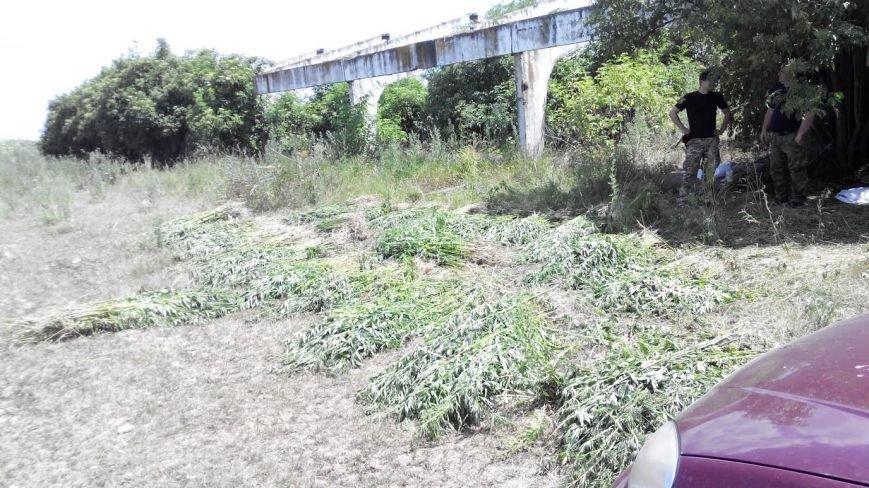 Под Мариуполем обнаружена ферма конопли (ФОТО), фото-2