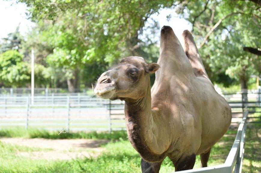 В ростовском зоопарке верблюд Борис лишился густой шевелюры, фото-1