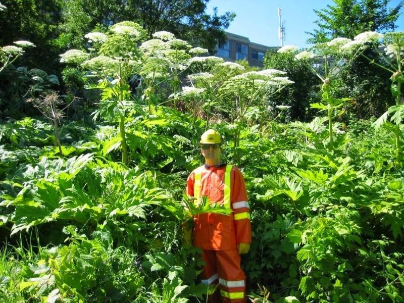 Природня небезпека: в Україні цвіте борщівник, фото-1