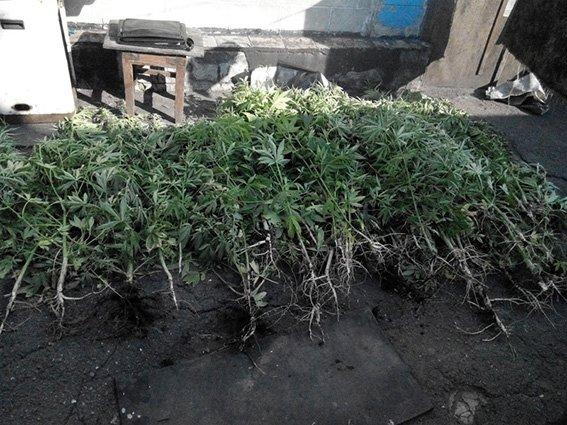 В Горняке нашли целые плантации конопли, фото-1