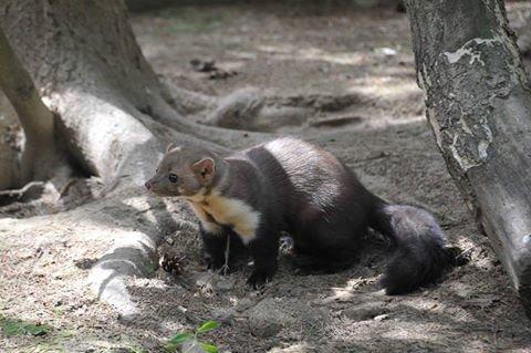 У центрі реабілітації диких тварин з'явилася куниця з Києва. Фото, фото-2