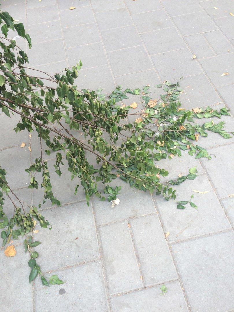 На пр. Чорновола поламали нещодавно висаджені берези (ФОТО), фото-7