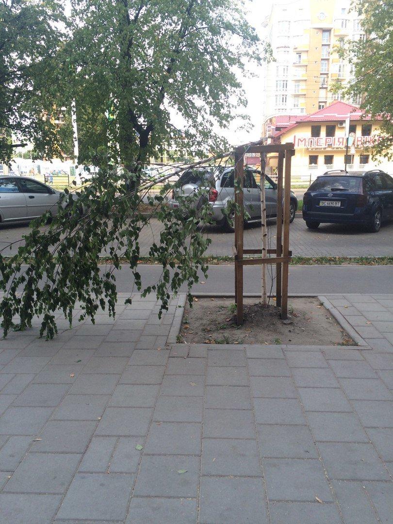 На пр. Чорновола поламали нещодавно висаджені берези (ФОТО), фото-4
