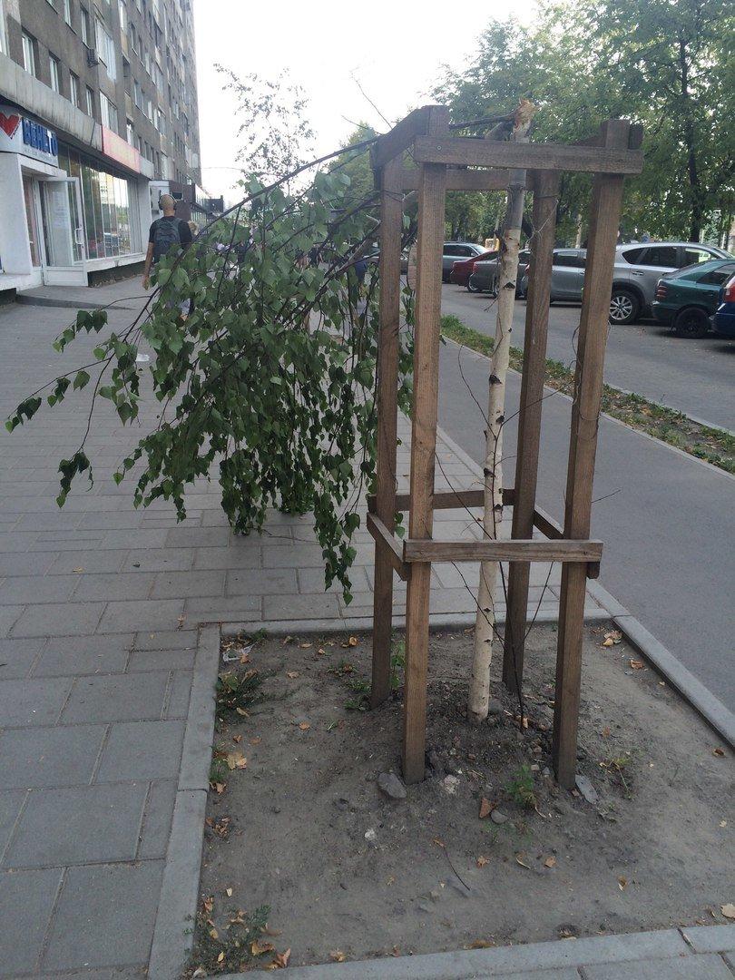 На пр. Чорновола поламали нещодавно висаджені берези (ФОТО), фото-1