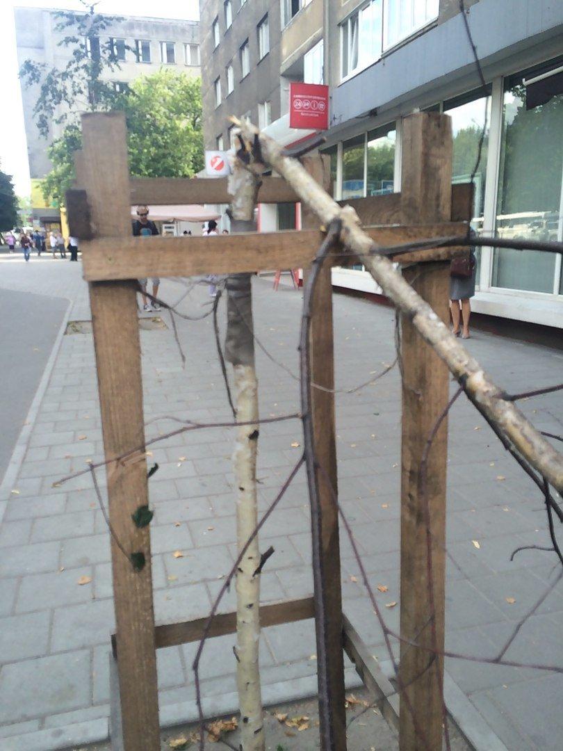На пр. Чорновола поламали нещодавно висаджені берези (ФОТО), фото-3