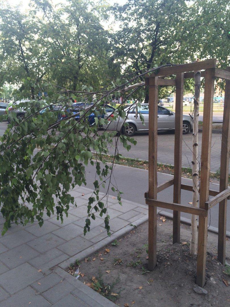 На пр. Чорновола поламали нещодавно висаджені берези (ФОТО), фото-5