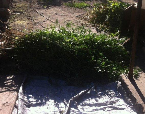 На Кировоградщине полицейские выявили во дворе более полусотни растений конопли и почти 400 кустов мака, фото-1