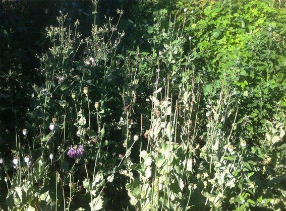 На Кировоградщине полицейские выявили во дворе более полусотни растений конопли и почти 400 кустов мака, фото-3