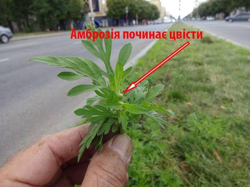 В Запорожье активисты очистили центральный проспект от амброзии, - ФОТО, фото-4