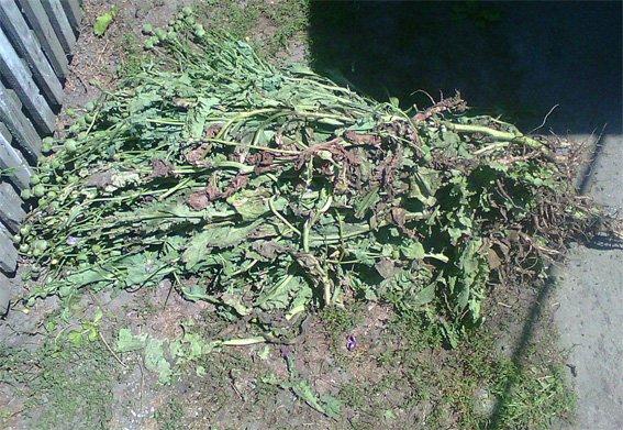 В Кировоградской области 19-летний парень вырастил маковое поле (ФОТО), фото-1