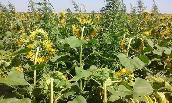 В Винницкой области нашли 1000 растений конопли среди подсолнухов (Фото), фото-1