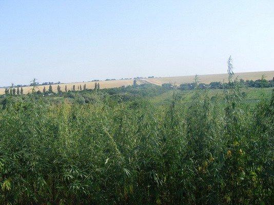 В Донецкой области уничтожили 200 тысяч кустов конопли (ФОТО, ВИДЕО), фото-1