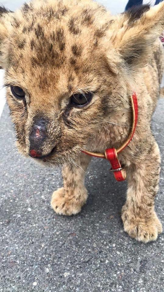 Каторга для животных: сумчан заманивают в цирк измученным котенком леопарда (ФОТО), фото-3