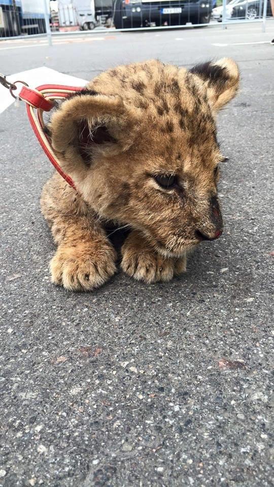 Каторга для животных: сумчан заманивают в цирк измученным котенком леопарда (ФОТО), фото-2