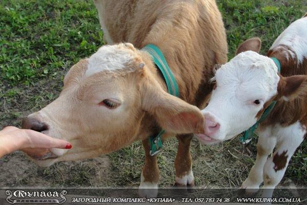 купава коровы