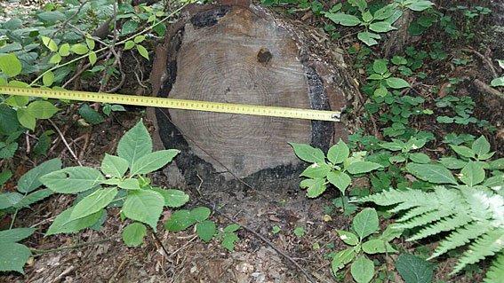 На Львівщині керівники лісгоспів незаконно вирубали лісу на 7 млн.грн. (ФОТО), фото-1