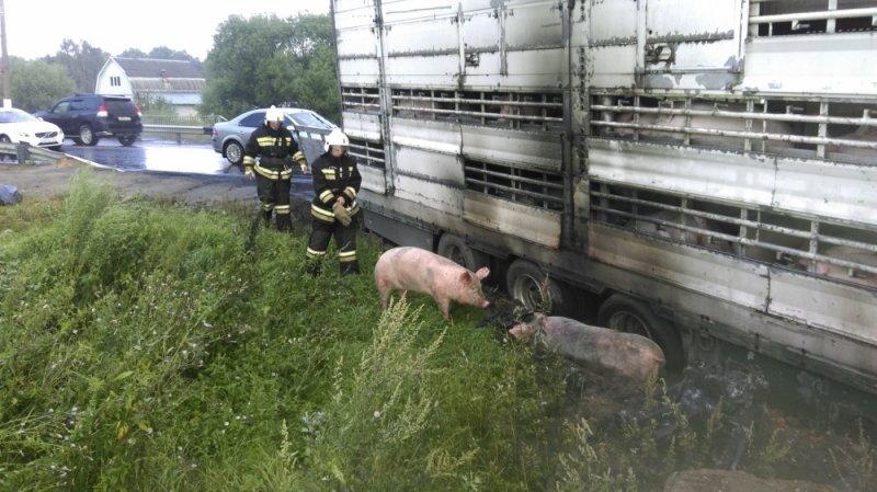 свиньи 2