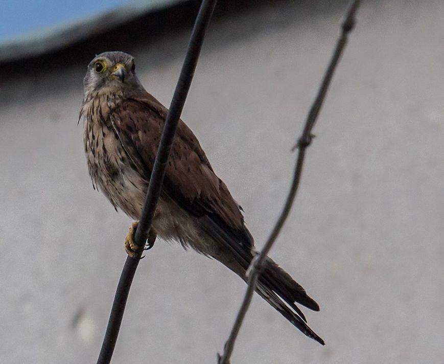 В Ужгороді сімейство диких птахів дало потомство: фото, фото-1