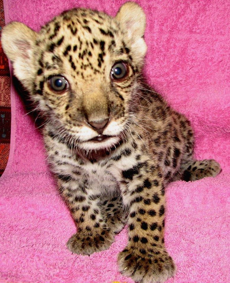"""Ветеринар николаевского зоопарка """"удочерила"""" новорожденного ягуара (ФОТО), фото-1"""